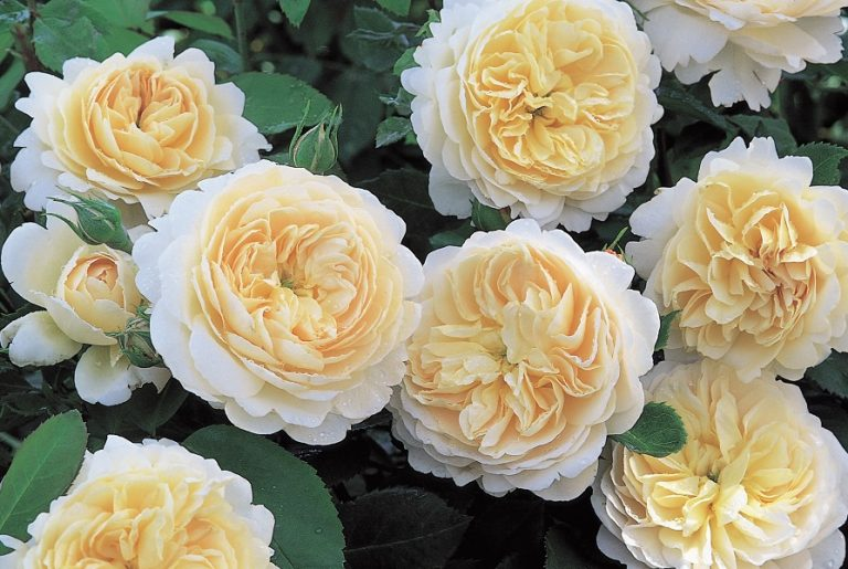 David Austin English Rose 'Crocus Rose' is a robust , free-flowering rose with lovely cream-colored rosette-shaped flowers, initially laced with soft apricot at the center. A very good rose for all US climates, including those with very cold winters. Grows to four feet tall and three feet wide. The fragrance is light Tea Rose. RHS