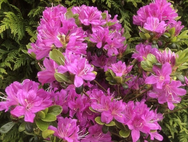 azalea_geisha_lilac