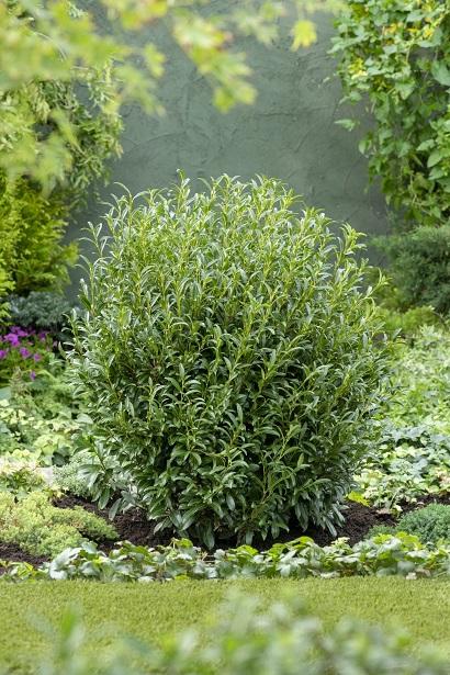Prunus-laurocerasus-Szofi-Sofia
