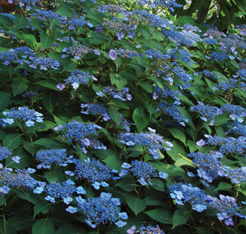 hydrangea_serrata_annies_blue__040210800_1933_17022014